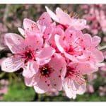 Fleurs_de_prunier-1